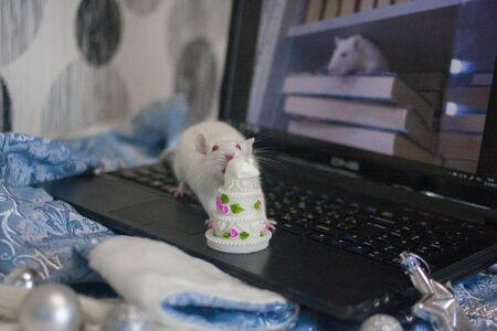 The white rat on the computer, among the decorations to the Christmas tree. The mouse eats birthday cake. the birth of the new year. symbol of chinese new year Stockfoto
