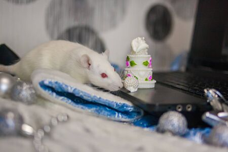White rat on a laptop, among the decorations to the Christmas tree. symbol of chinese new year