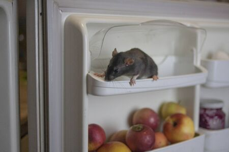 White rat in the refrigerator among fruits and food. Pests. symbol of chinese new year Stockfoto