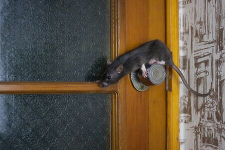 The rat is gray on the doorknob. Flexible pets. danger of falling. fear of grabbing the door handle. symbol of chinese new year