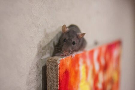 The gray rat in a picturesque picture. Young artist. creative talent. symbol of chinese new year Stockfoto
