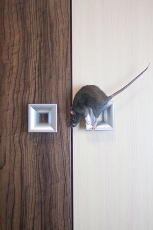 The rat is gray on the doorknob. symbol of chinese new year