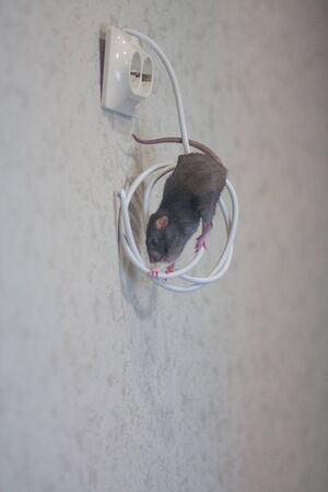Gray rat nibbles wires in the wall. risk of short circuit. symbol of chinese new year