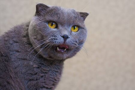 The cat is gray. British breed. Funny and chubby cat