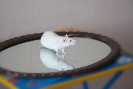 Rata blanca sobre el cristal. reflexión y autoconocimiento. rata Foto de archivo