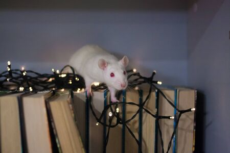 White rat in a New Years garland on books. lover of books and stories for Christmas. read books. symbol of chinese new year Stockfoto