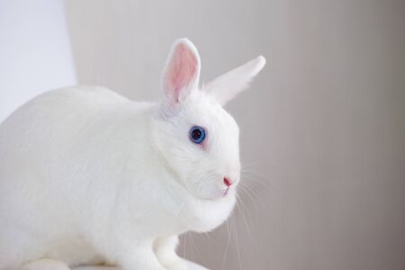 The hare is blue-eyed and white. fabulous bunny on a white background