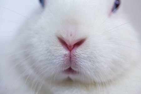 Hare nose. blue-eyed and white rabbit. fabulous bunny on a white background