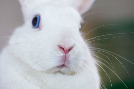 Dumb concept. blue-eyed and white rabbit. fabulous bunny on a white background Stockfoto