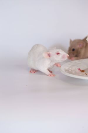 Diet concept. Rat eats food from a white plate on a white background. vertical sheet orientation