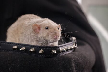 The rat brutalized in a spiked collar. Informal. Symbol of 2020 Chinese calendar