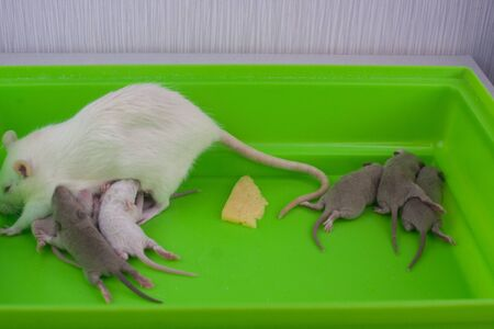 Rats family. little kids and mom on a green cage. cute baby rats. laboratory mouse. Rat and a slice of cheese Stock Photo