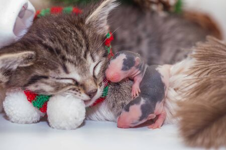 Attractive kitten in a santa hat with little rats. cat mice. cute animals. symbol of 2020 Stock Photo