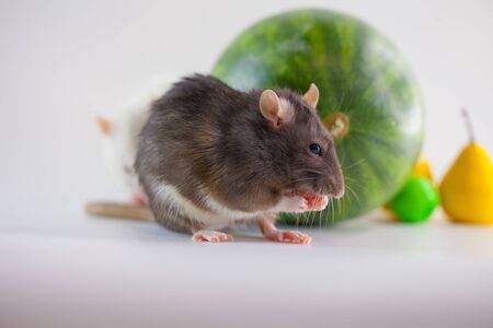 Stocks of fruit and a rat on a watermelon. Proper nutrition