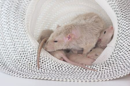 Rats in a straw hat together. nest of cute mice Stock Photo