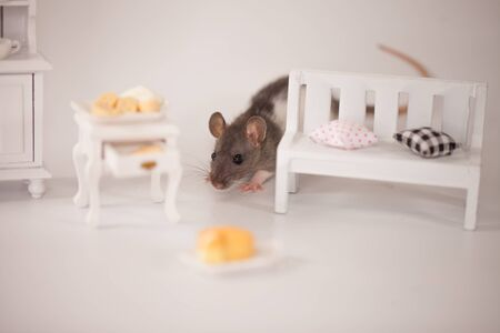 Cute rats under a doll's white bench on a white background with slices of mouth-watering cheese Stock Photo