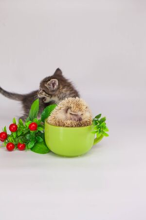 kitten with african pygmy hedgehog in a green cup of tea
