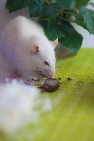 A white rat eats a nut next to the cage. theft concept. rodent