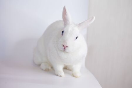 Snow-white Easter rabbit with blue eyes. on a white background Фото со стока