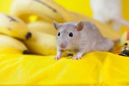 rat, rat, pretty, tail gray infection anti sanitary portrait nose pink