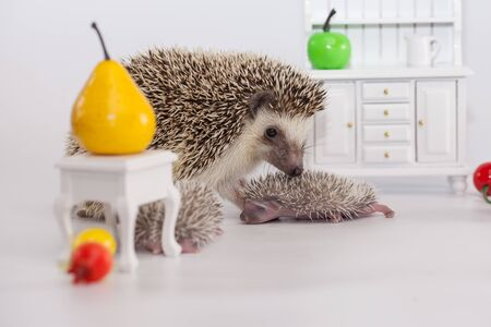 Positive attitude and good mood. Have a nice day concept. Cute African Dwarf Hedgehog. Mom with children Archivio Fotografico