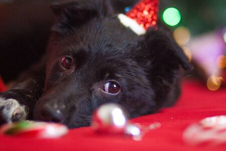 New Year's dog among New Year's toys. black dog in santa claus red coat