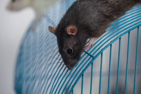 Rat on the roof of his house. Rat cage