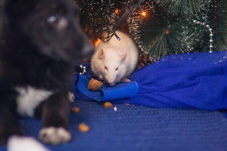 The dog is black among New Year's toys. holiday dog Stock Photo