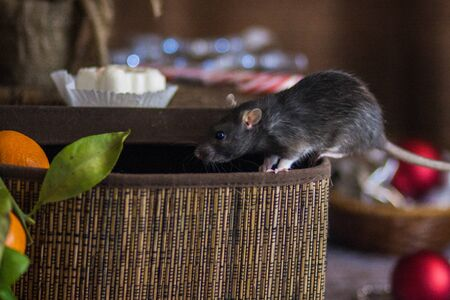Isolation do it yourself concept.  Rat in the box.