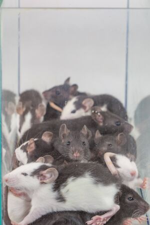 Isolation do it yourself concept.  Rats family in a glass house, mouse in a shelter Stock Photo