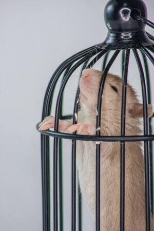 Isolation do it yourself concept.  Rat in a small black cage on a white background Stock Photo
