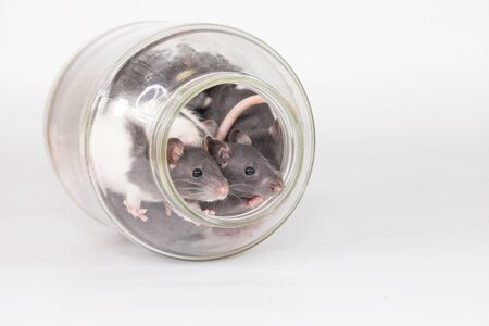 Isolation do it yourself concept. Rats in a glass jar on a white background
