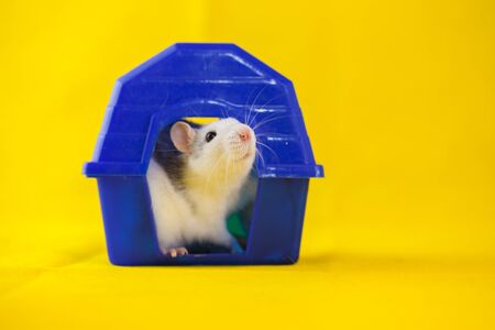 Isolation do it yourself concept. Rat in a blue house.