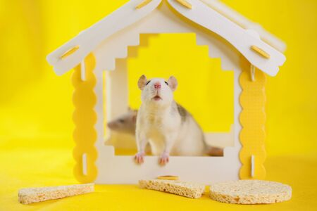 Virus isolation concept. Rats in the yellow house are hiding Stock Photo