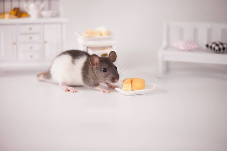 Virus isolation concept. Rat in a white room among the furniture. Rat at home with a slice of cheese
