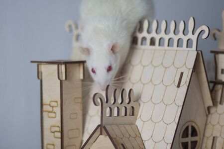 Virus isolation concept. Rat in a wooden house. Sits and misses