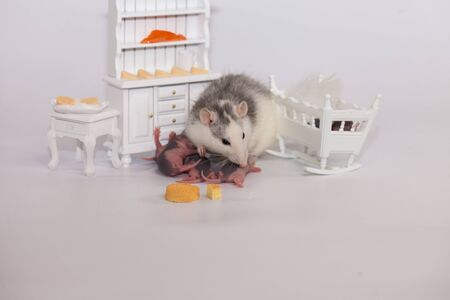 Virus isolation concept. Rat mom and her little bald children in a white room with furniture. Family isolation at home