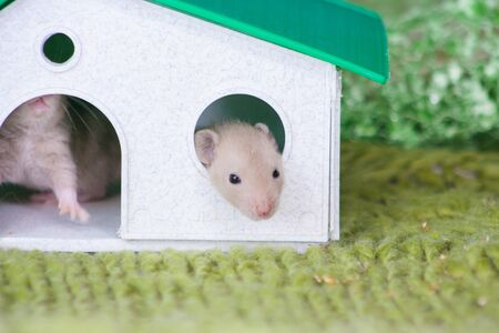 Isolation do it yourself concept. Coveid-19 pandemic prevention measures. Rat in the house, mouse in the shelter