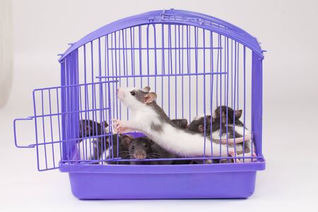 Isolation do it yourself concept. Coveid-19 pandemic prevention measures. Rats in a purple cage on a white background