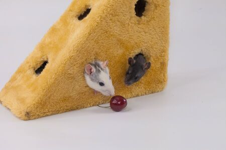 Isolation do it yourself concept. Coveid-19 pandemic prevention measures. Rats in a huge piece of cheese on a white background. flavored piece of cheese. Feast in Time of Plague Stock Photo
