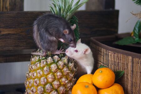 Isolation do it yourself concept. Coveid-19 pandemic prevention measures. Rats in a huge piece of cheese on a white background. Rat in a gray box