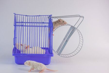 Isolation do it yourself concept. Coveid-19 pandemic prevention measures. Rat in a purple cage.