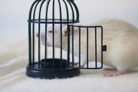 Isolation do it yourself concept. Coveid-19 pandemic prevention measures. Rat in a black little cage.