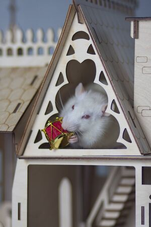 Virus isolation concept. Rat in a wooden house. Sitting and looking out the window Stock Photo