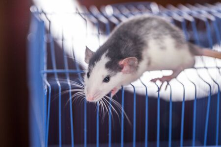 Pandemic Isolation Concept. The rat is on the roof of its cage. Stock Photo
