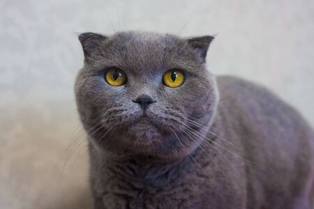 The cat is gray. British breed. Beautiful and cute kitten Фото со стока