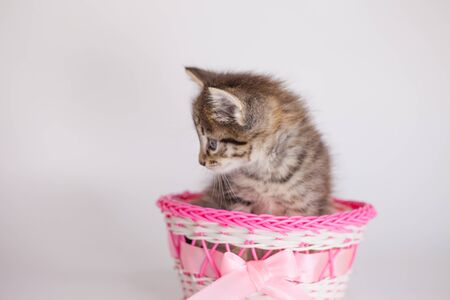 Kitten on a white background in a pink gift box with a bow Фото со стока