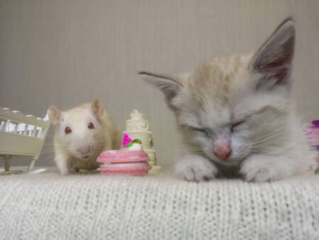 Sleeping kitten and white rat. Tom and Jerry. Cat and mouse together. Among sweet food and delicious