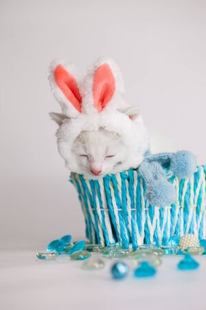 Snow-white kitten on a white background in a blue gift box. In a hat of a pink-eared rabbit