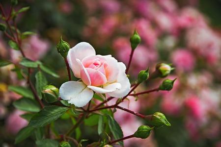 red bush: Pink Rose Bush in the summer garden